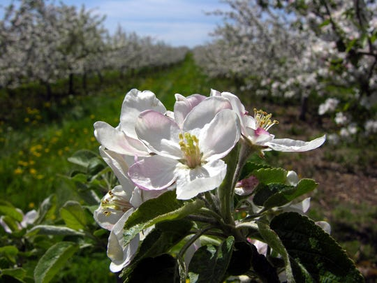 White-and-pink apple blossoms put on a dazzling display