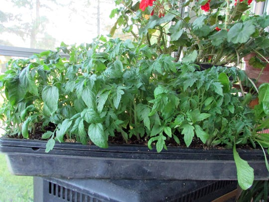 An over-filled flat of tomatoes provides a grab bag of plants. All plants are tomatoes, but it's unknown what kind.