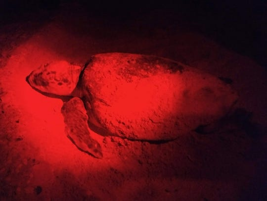 File: This young mother turtle lays her eggs on Keewaydin Island.