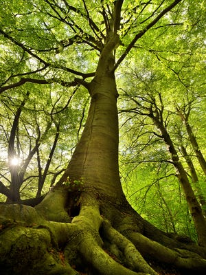 old beech tree in spring colors with the sun through the branches