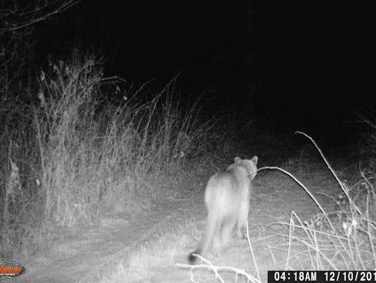 A trail cam near Merrill on Dec. 10 shows a cougar