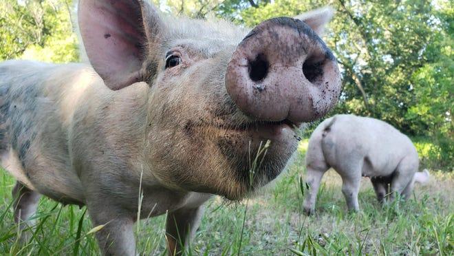 Pigs at Stone Creek Family Farm, where three generations of the Kucharo family grow products to sell at local farmers' markets.
