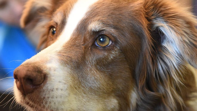 Skid, an Australian shepherd, conducts search and rescue operations with his owner, Jill Reynolds, a search leader for Larimer County Search and Rescue.