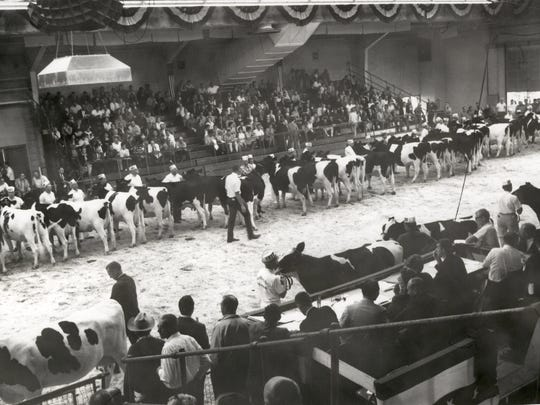 Exhibitors move their cattle around the show ring inside the Arena Building in Oct. 1969.