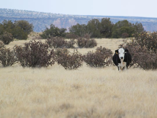 A cow grazes alone on a stretch of open range north of Albuquerque, N.M., on Thursday, Feb. 22, 2018. Officials with the Farm Service Agency in New Mexico say many ranchers are scrambling to buy up alfalfa reserves to supplement feed for their livestock as drought conditions are expected to intensify across the state.