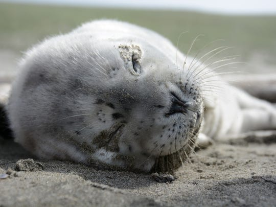 Seal pup resting on the beach.