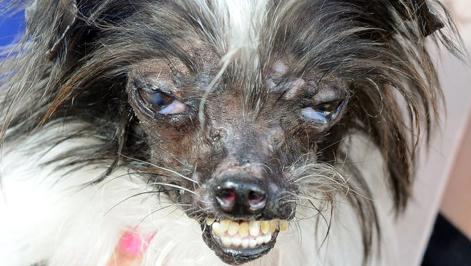 Peanut, a mutt who is suspected of being a Chihuahua-Shitzu mix, is seen at The World's Ugliest Dog Competition in Petaluma, California on June 20, 2014. Peanut won the competition and was voted the world's ugliest dog.