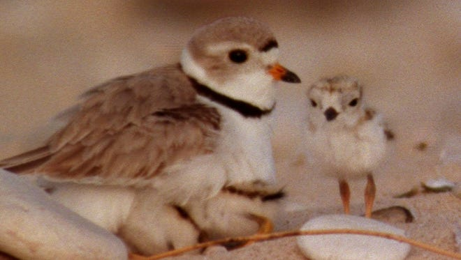 An adult plover and his or her chick.