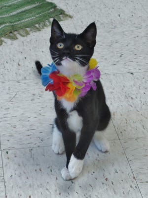Liza is a 3-month-old, black-and-white sweetheart who is incredibly vocal. When you take her into the bonding room, she just chats up a storm. Liza is also a serious lovebug and seems to never stop purring. She's going to be a lot of fun for a very lucky person.