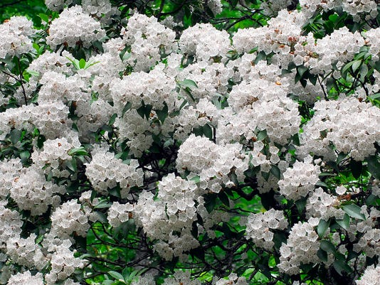 Mountain_Laurel2 - Copy - Copy.jpg