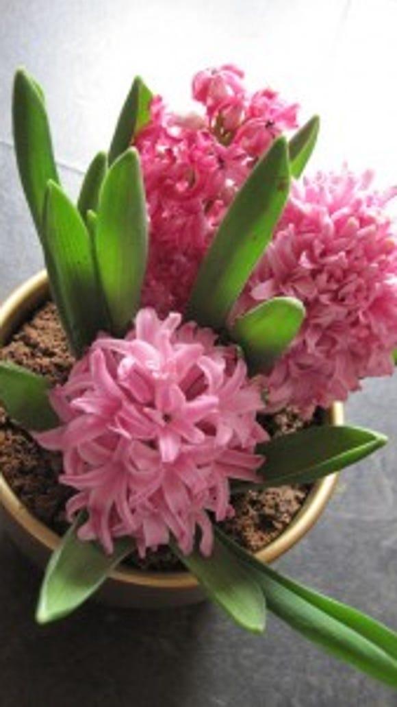 Pink hyacinths forced to bloom (Tomylees)