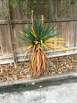 The decline in this yucca plant could be due to either excessive moisture or an attack of fungal leaf spot.