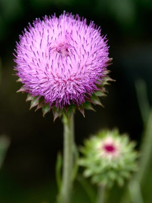 Thistle produces pretty flowers, but the plant itself has painful spines most gardeners would rather avoid.