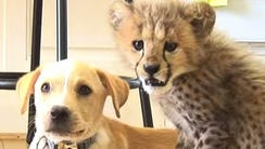 Kumbali the cheetah and Kago the dog have developed