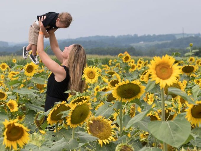 A two-weekend Sunflower Festival is held annually at