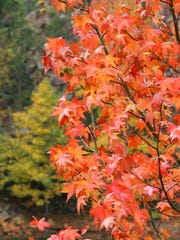 Leaves of a sweet gum tree glow red and orange Friday,