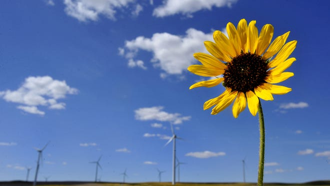 A sunflower grows on a roadside near the Glacier Wind Farm.