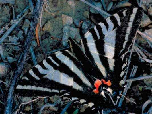Zebra_swallowtail_butterfly.jpg