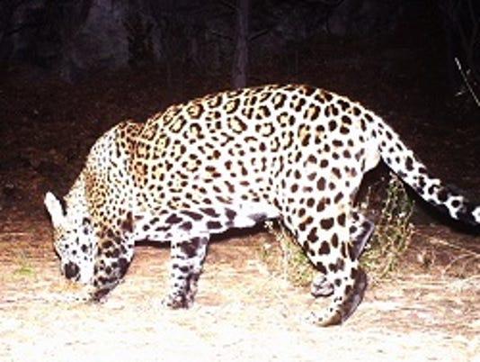 Jaguar in Huachuca Mountains