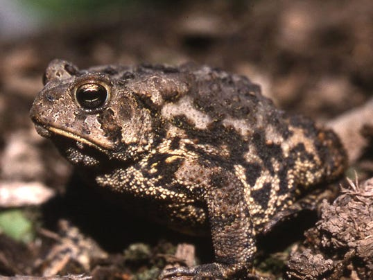 poffenbaugh toad.jpg