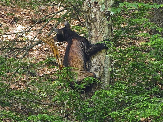 Mange, shown on the bear above, is caused by a microscopic skin mite. It forces black bears to scratch uncontrollably, which leads to severe hair loss.