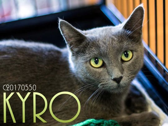 Kyro is a beautiful male domestic shorthair with stunning