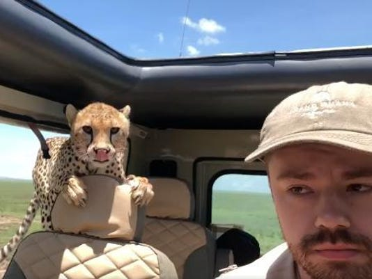 Cheetah on safari