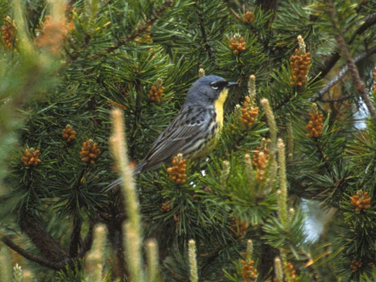 The Kirtland's warbler lives only in young stands of