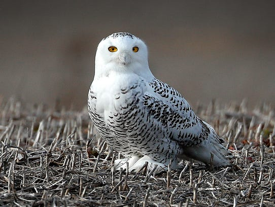 A snowy owl stands in a field just east of the Indianapolis