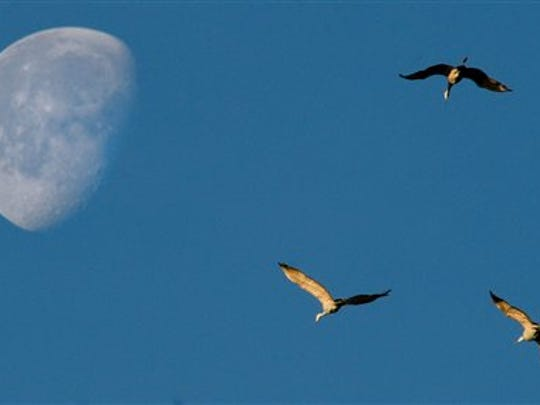 Sandhill cranes fly past the moon as they glide into the Wheeler National Wildlife Refuge in Decatur, Ala., in 2015.