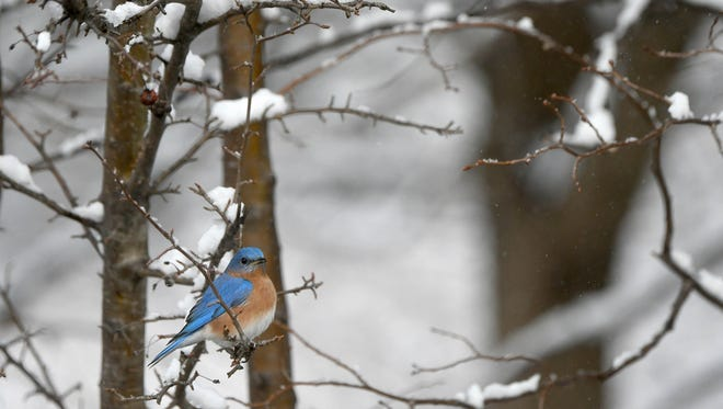 """Perhaps this male eastern bluebird will have every ruffled feather in place by Feb. 24 whenthe Ohio Bluebird Society will have its annual meeting, """"Mission Possible,""""at the Grange Insurance Audubon Center in Columbus."""