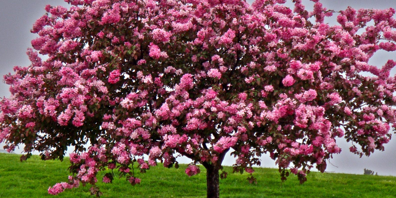 Crab Apple Trees Bust Or Boon