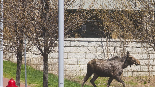After a tour of Burlington's waterfront, this young moose ran up Battery Street, into the Old North End, and then the University of Vermont's Trinity campus before heading into downtown Winooski, past the mills, down Winooski Falls Way and into park land along the Winooski River Monday. Vermont game wardens tracked the animal from Oakledge Park, tracing its route through both cities and continued following it into Colchester.