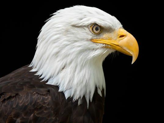 A profile of a bald eagle on a black background