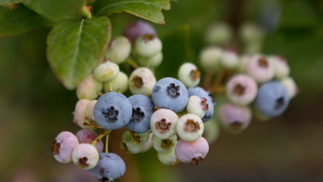 In this Aug. 9, 2017 photo, blueberries grow at Blue Fruit Farm outside of Winona, Minn.