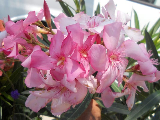 Oleanders make for spring summer and fall show of color mightylinksfo