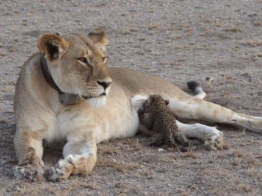AP TANZANIA LION AND LEOPARD CUB I TZA