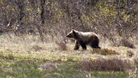 Accidents, management have taken 33 bears from greater Glacier ecosytem this year