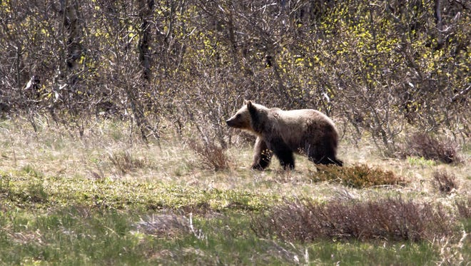 Grizzly bear in Glacier National Park.