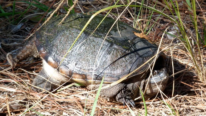 A tortoise peers out from his cover at Prairies Pines Preserve.