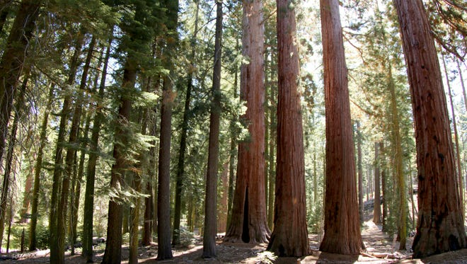 Giant sequoia trees grow in Mariposa Grove in Yosemite National Park, California.