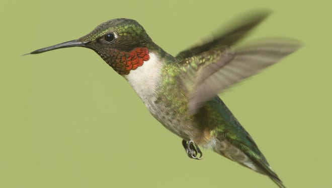 Feeding hummingbirds is a time-honored garden activity. Watch males stake out territory and defend it with aerial acrobatics. Male Ruby-throated Hummingbird (archilochus colubris) in flight with a green background