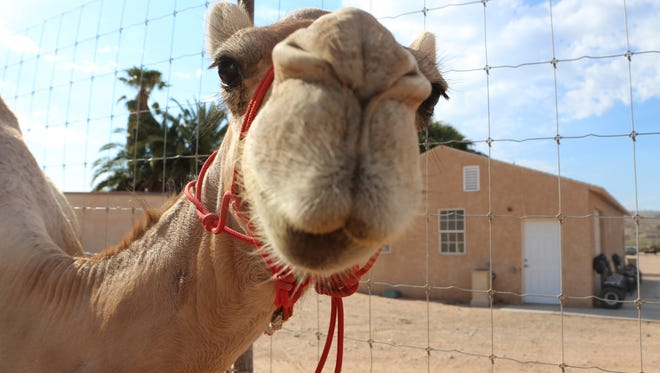 Camel Safari is looking to expand its offerings.