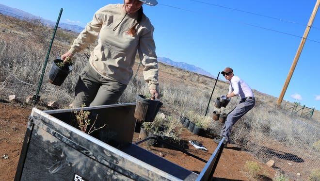 Ann McLuckie, a biologist with the Utah Division of Wildlife Resources, and Rob Bowers, a DWS technician were among a group that helped plant native plant species at a restoration site in the Red Cliffs Desert Reserve on Tuesday, Nov. 22, 2016.