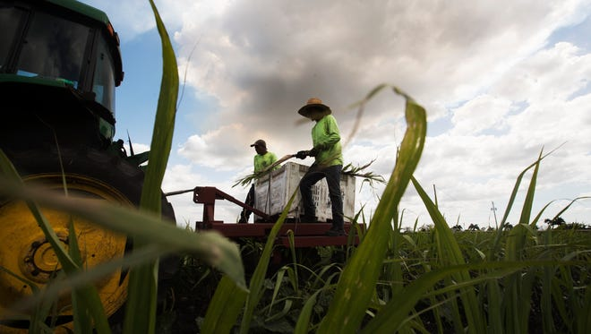 Pedro Yanes and Augusto Cazeras of Domingo Produce Inc. plant sugar cane on a field that abuts Lake Okeechobee near Clewiston on Wednesday.