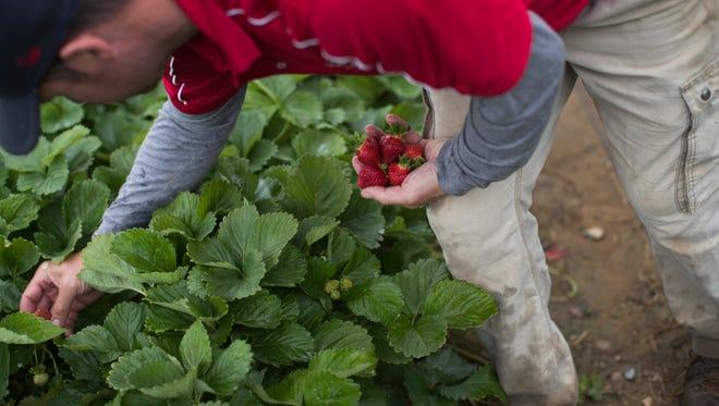 In this Tuesday, May 23, 2017, photo, Tyler Wegmeyer, owner of Wegmeyer Farms, picks strawberries in the pick-your-own strawberry patch at Wegmeyer Farms in Hamilton, Va. Hiring summer workers is one of Wegmeyer's biggest problems.
