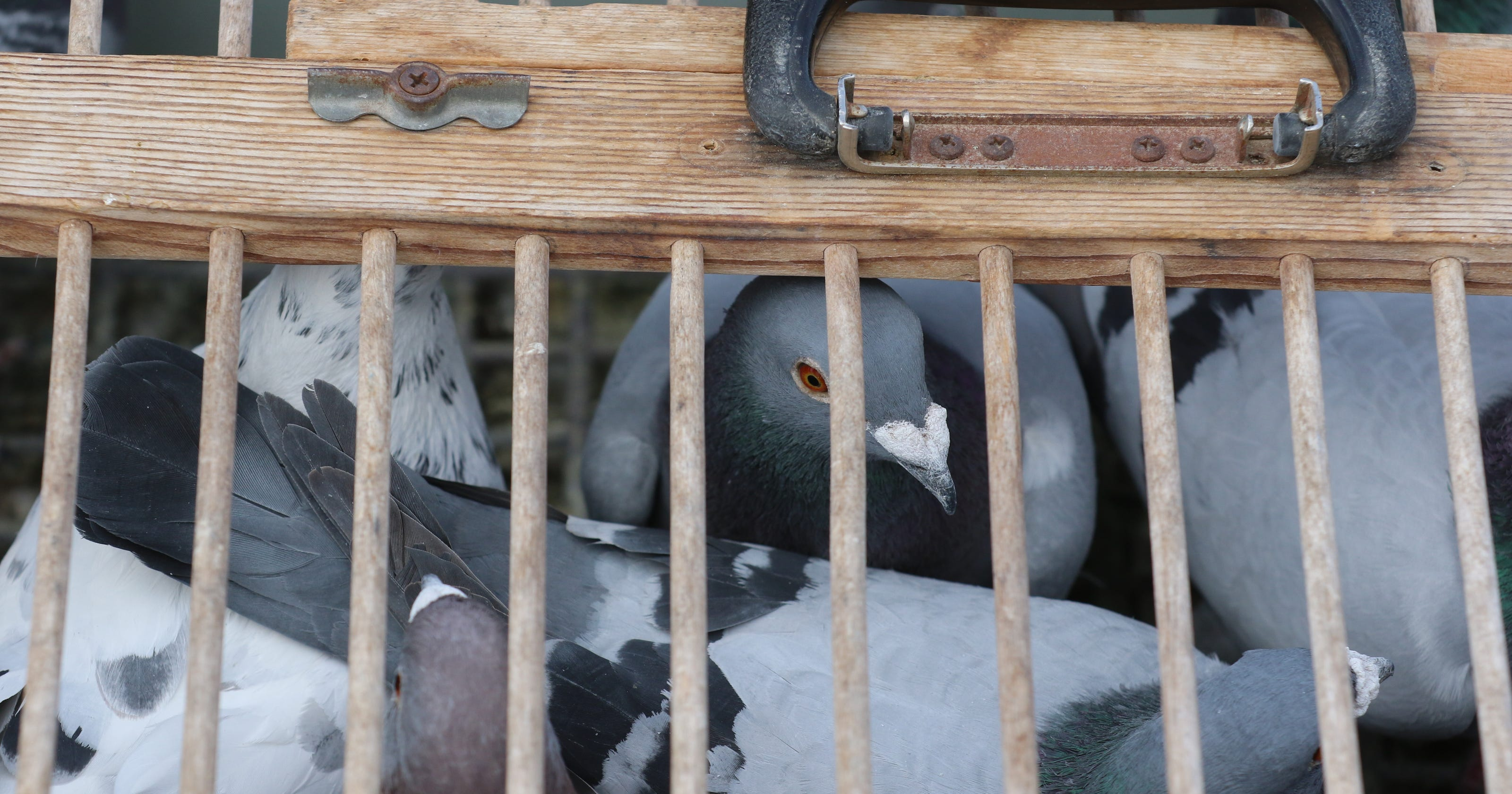 Wayne man is among most successful racers of homing pigeons in the
