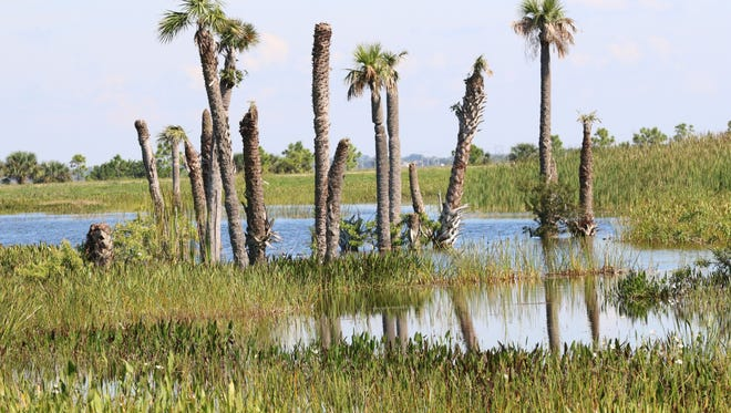 Typical example of the constructed wetlands habitat available for wild birds at the Viera Wetlands.