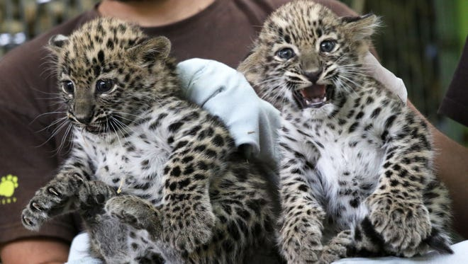 Six-week old Persian leopards