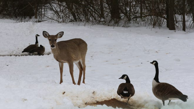 Deer and Canada geese side by side in the snow and the cold at Garret Mountain Park on March 18, 2017.